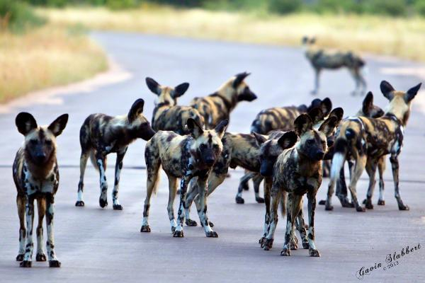 Pack of wild dogs