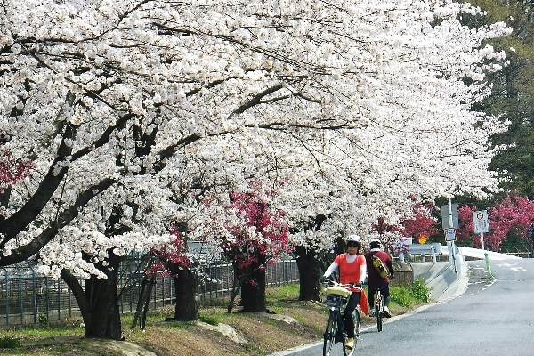 Running with E-bike along a row of sakura trees, north of Tokyo