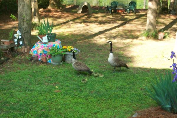 Geese and Goslings enjoying a Spring Day at Northshore Lake House