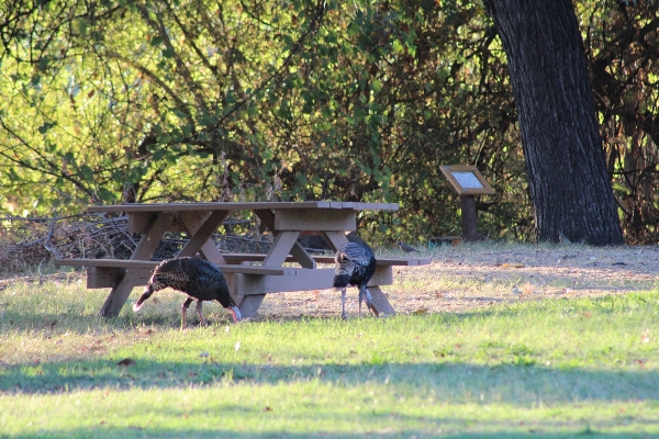 Picnic tables and wild turkey. 10 in courtyard, others located in Primitive camp sites.