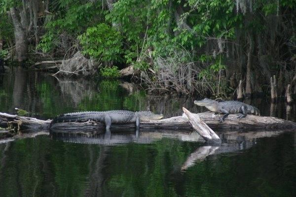 Gators on the creek